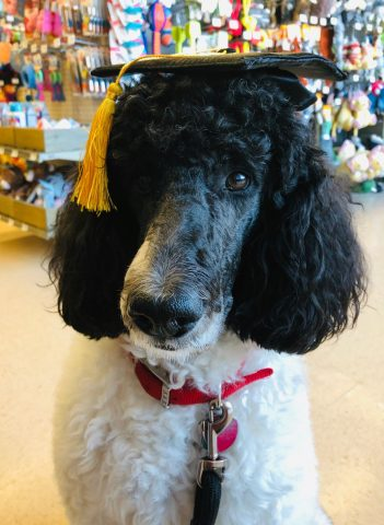 Chrissy, our classroom friend, passed her Canine Good Citizen test and is now working towards becoming a certified Therapy Dog.